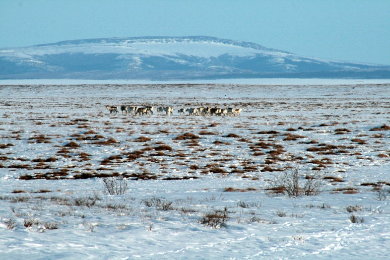 We also went on some crust cruises outside the village to see the landscape, and we chased down the caribou herd passing through the area; just like traditional hunters on skis long ago!
