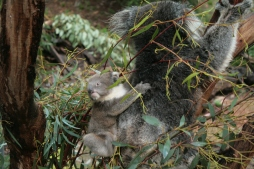 Finally got to see Koalas at a local sanctuary. Very cute!