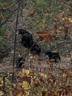 Momma bear and 3 cubs at Kincaid.